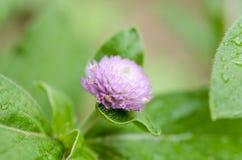 El amaranto de globo o el primer macro de la flor del botón del soltero tiró en naturaleza Foto de archivo libre de regalías
