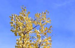 El amarillo apacible del árbol del ginkgo de la caída se va en fondo del cielo azul Fotos de archivo