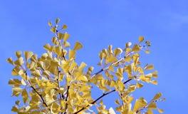 El amarillo apacible del árbol del ginkgo de la caída se va en fondo del cielo azul Foto de archivo libre de regalías