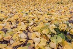 El amarillo bajó las hojas en el césped Fotografía de archivo libre de regalías