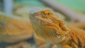 El amarillo bardó el lagarto de dragón en el parque zoológico metrajes