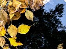 El amarillo caido se va en charco con la reflexión del cielo del otoño Foto de archivo libre de regalías
