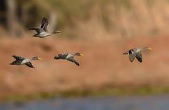 El amarillo cargado en cuenta Ducks en vuelo Foto de archivo