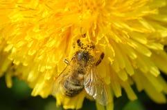El amarillo cubrió la abeja Imagen de archivo
