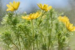 El amarillo de Adonis florece gotas de lluvia Fotos de archivo libres de regalías