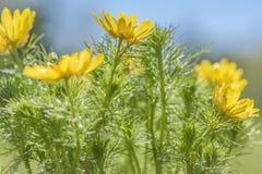 El amarillo de Adonis florece gotas de lluvia Imagenes de archivo