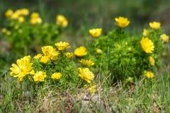 El amarillo de Adonis florece la hierba de la primavera Foto de archivo