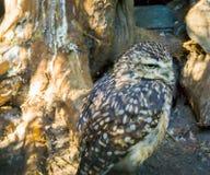 El amarillo de Brown manchó poco búho en primer un pájaro despredador salvaje nocturno fotografía de archivo libre de regalías