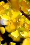El amarillo de oro de la caída del árbol Defocused del ginkgo se va en el viento Foto de archivo libre de regalías