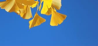 El amarillo de oro del árbol del ginkgo de la caída se va en fondo del cielo azul Imagen de archivo libre de regalías
