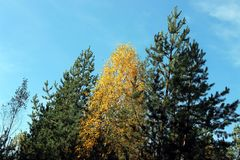 El amarillo deja el árbol entre dos piceas Foto de archivo