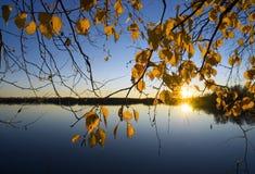 El amarillo deja abedules en la puesta del sol Imágenes de archivo libres de regalías