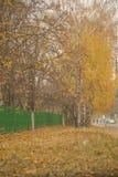 El amarillo del oro se va en los árboles de abedul, opinión hermosa del otoño Imagen de archivo libre de regalías