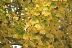 El amarillo del otoño deja el árbol del Gingko Fotografía de archivo