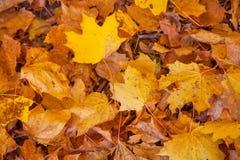 El amarillo del otoño deja el fondo Imagen de archivo libre de regalías