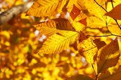 El amarillo del otoño deja el fondo Fotografía de archivo