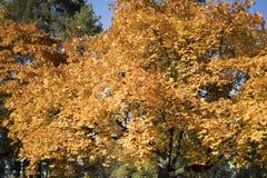El amarillo del otoño deja el fondo en día soleado Imágenes de archivo libres de regalías