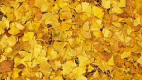 El amarillo del ` s de Biloba del Ginkgo se va en el otoño imágenes de archivo libres de regalías