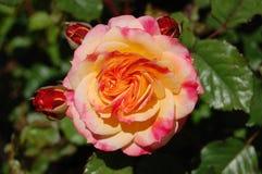 El amarillo/el color de rosa abiertos hermosos se levantó Imagenes de archivo