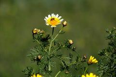 El amarillo florece coronarium del crisantemo y la abeja Foto de archivo