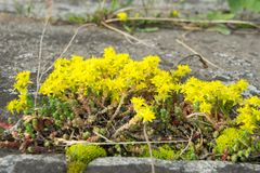 El amarillo florece la uva de gato imagen de archivo libre de regalías