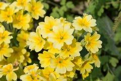 El amarillo florece las primaveras (prímula vulgaris) en una cama Imagen de archivo libre de regalías