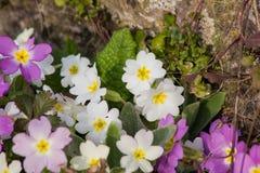 El amarillo florece las primaveras (prímula vulgaris) en una cama Imagen de archivo