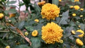 El amarillo florece los pétalos verdes de las hojas Fotografía de archivo