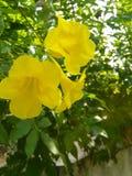 El amarillo florece el ?rbol foto de archivo libre de regalías