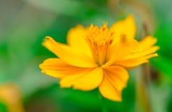 El amarillo florece vivo en fondo enmascarado verde Fotos de archivo