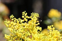 El amarillo hecho frente manosea la abeja imagen de archivo