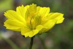 El amarillo hermoso fotos de archivo