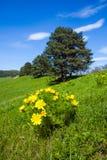 El amarillo hermoso de la primavera del ojo del faisán florece en la colina Fotos de archivo libres de regalías