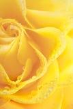 El amarillo hermoso de Marco se levantó con gotas del agua Foto de archivo libre de regalías