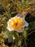 El amarillo hermoso se levantó foto de archivo libre de regalías
