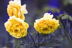 El amarillo hermoso se levantó Fotos de archivo libres de regalías