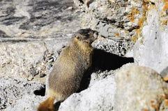 El amarillo hizo bolso la marmota Imágenes de archivo libres de regalías