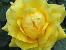 El amarillo mojado se levantó Fotos de archivo libres de regalías