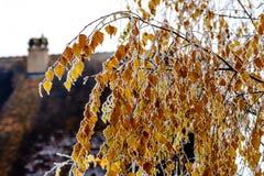 El amarillo pasado se va en el abedul cubierto por la helada Foto de archivo libre de regalías