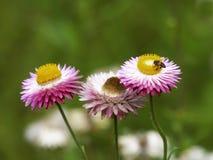 El amarillo rojo de Gaysorn del crisantemo tiene isla de la abeja foto de archivo