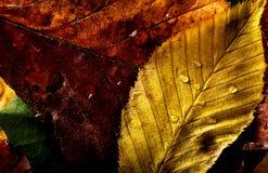 El amarillo rojo macro hermoso de las hojas de otoño colorea el primer Imágenes de archivo libres de regalías