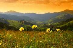 El amarillo salvaje florece el Trollius en las montañas Imagen de archivo
