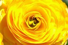 El amarillo se levantó Foto de archivo
