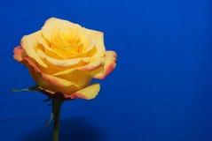 El amarillo se levantó Fotos de archivo libres de regalías