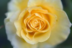 El amarillo se levantó Imágenes de archivo libres de regalías