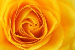 El amarillo se levantó Fotografía de archivo libre de regalías
