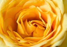 El amarillo se levantó Fotos de archivo