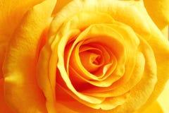 El amarillo se levantó Imagenes de archivo