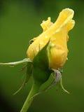 El amarillo se levantó Fotografía de archivo