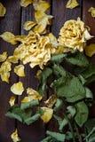 El amarillo se marchitó los pétalos color de rosa Fotografía de archivo